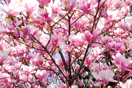 Stock Photo: 4183R-7351 Background of blooming magnolia tree with big pink flowers