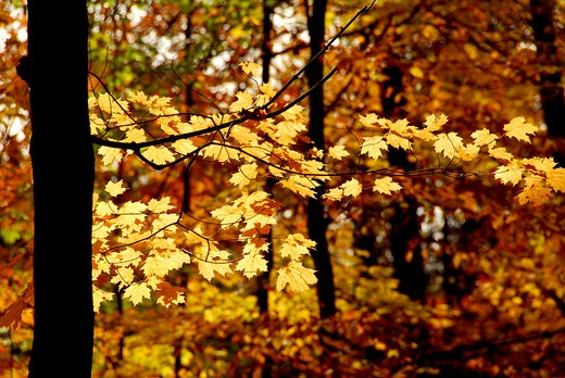 Stock Photo: 4183R-7495 Maple branch with sunlit yellow leaves in autumn forest