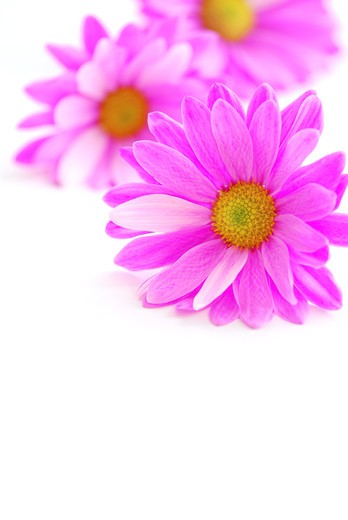 Stock Photo: 4183R-8400 Closeup of pink flower blossoms on white background