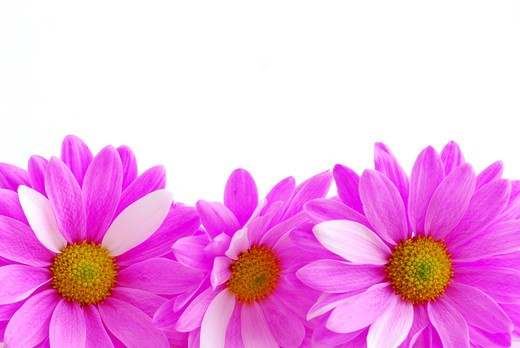 Stock Photo: 4183R-8408 Border of pink flowers close up on white background