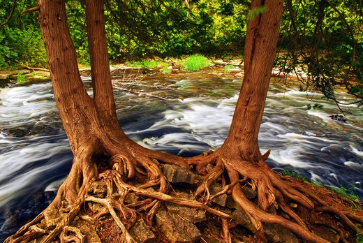 River flowing among green trees in a forest, two trees with visible roots in the foreground : Stock Photo