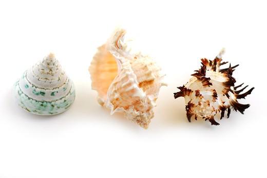 Stock Photo: 4183R-9010 Three sea shells isolated on white background