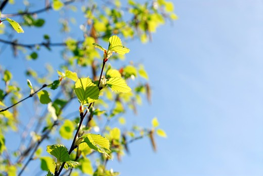 Background with spring birch branches and blue sky : Stock Photo
