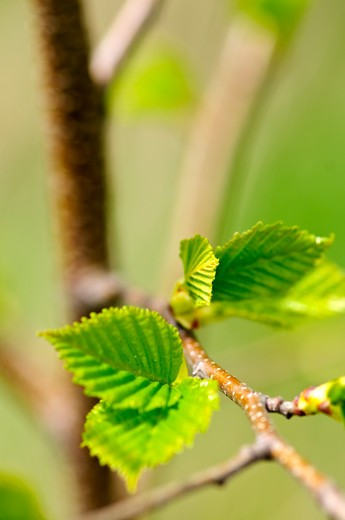 Stock Photo: 4183R-9413 Green spring leaves budding new life in clean environment