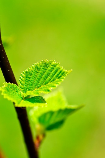 Stock Photo: 4183R-9433 Green spring leaves budding new life in clean environment