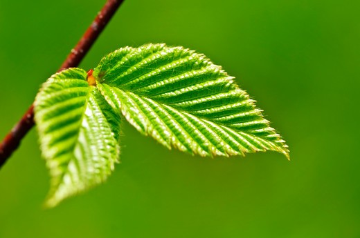 Stock Photo: 4183R-9439 Green spring leaves budding new life in clean environment