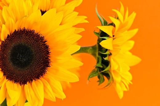 Close up of sunflower flowers on orange background : Stock Photo