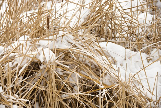Stock Photo: 4184R-11188 Cattail plants in snow.