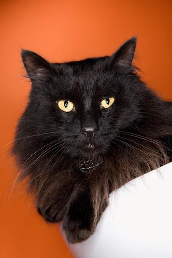 Stock Photo: 4184R-3263 Black fluffy cat.