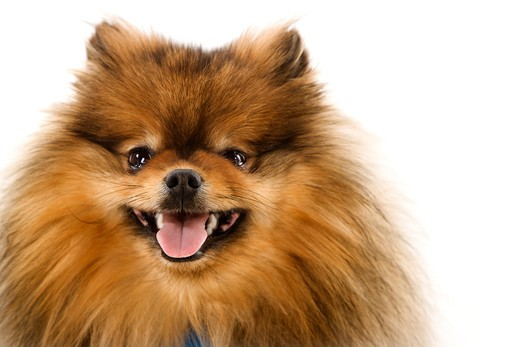 Stock Photo: 4184R-4086 Pomeranian dog portrait.
