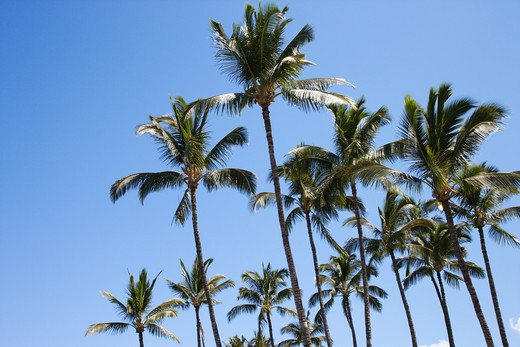 Stock Photo: 4184R-4654 Palm trees against blue sky in Maui, Hawaii.