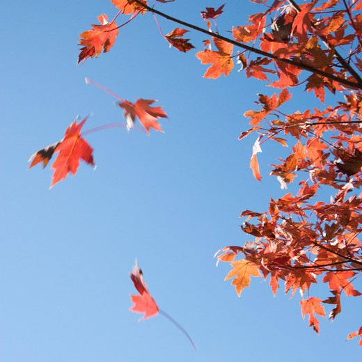 Stock Photo: 4184R-7009 Red autumn maple leaves falling from tree with blue sky as background.