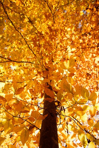 American Beech tree branches covered with yellow Fall leaves. : Stock Photo