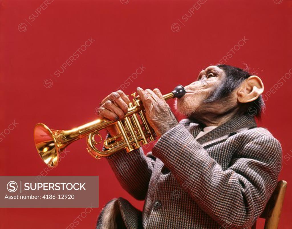 Stock Photo: 4186-12920 1960S 1970S Chimpanzee Wearing Sport Jacket Playing Jazz Trumpet Musical Instrument