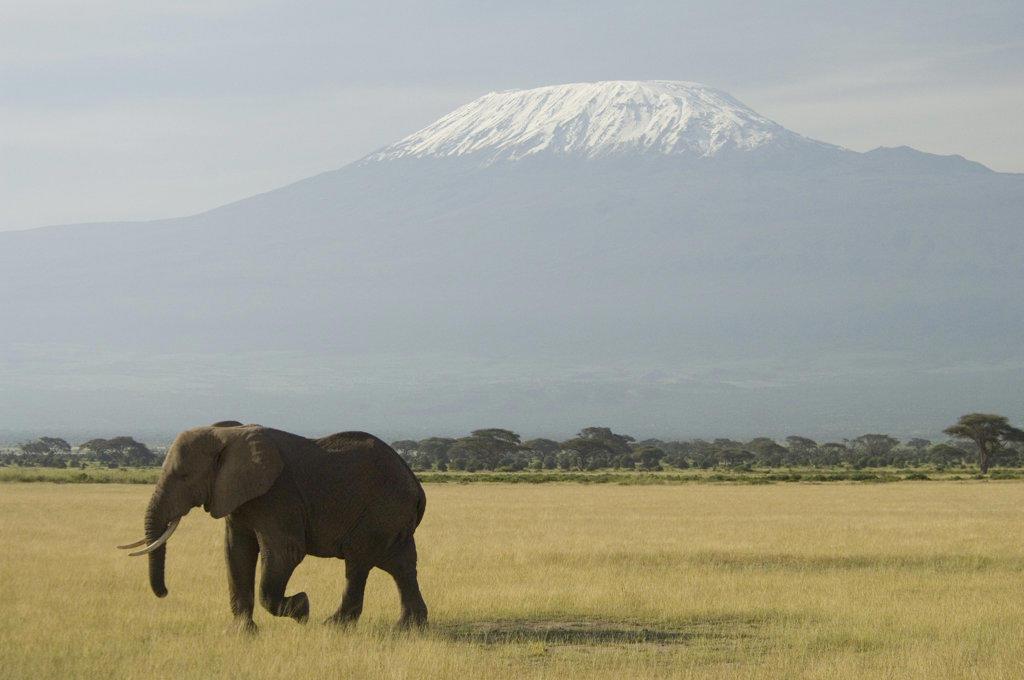 Elephant Walking In Plains Of Amboseli National Park Mount Kilimanjaro In Background Kenya Africa : Stock Photo