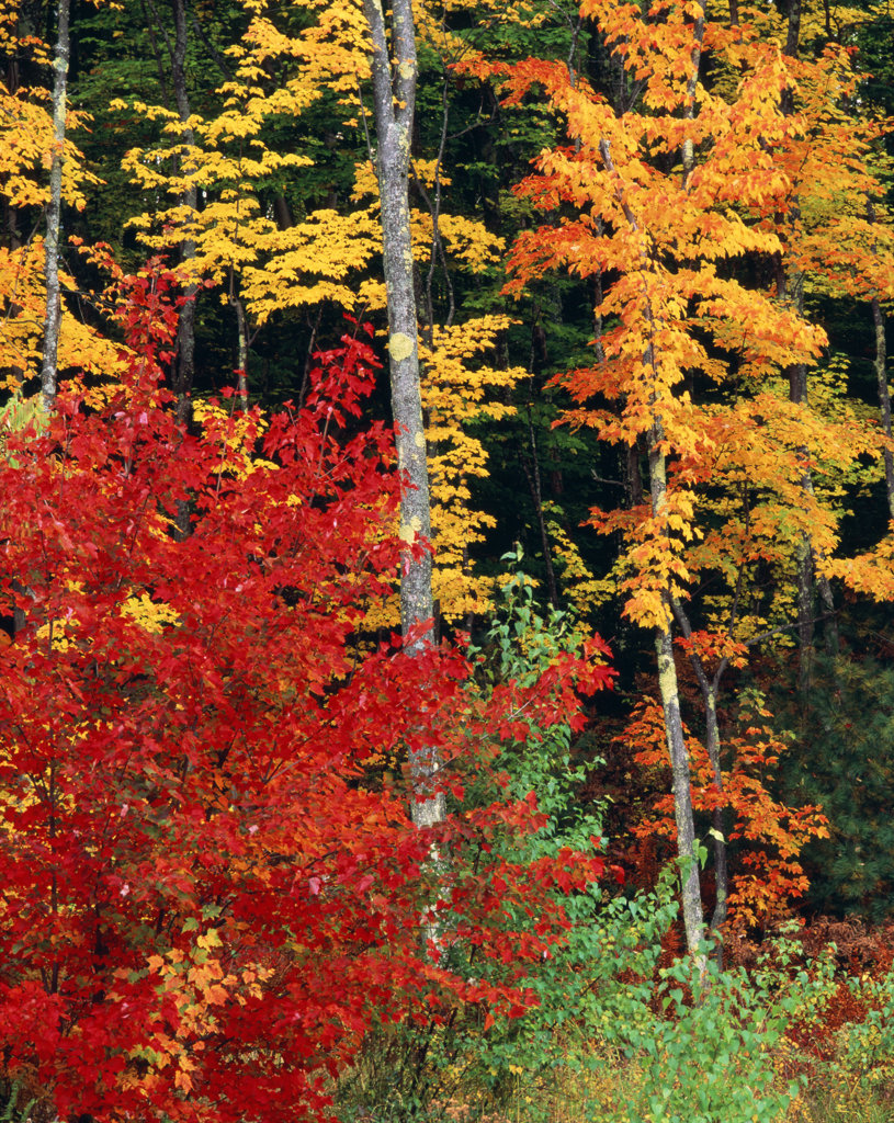 Stock Photo: 4186-12124 Colorful Autumn Trees North Conway New Hampshire