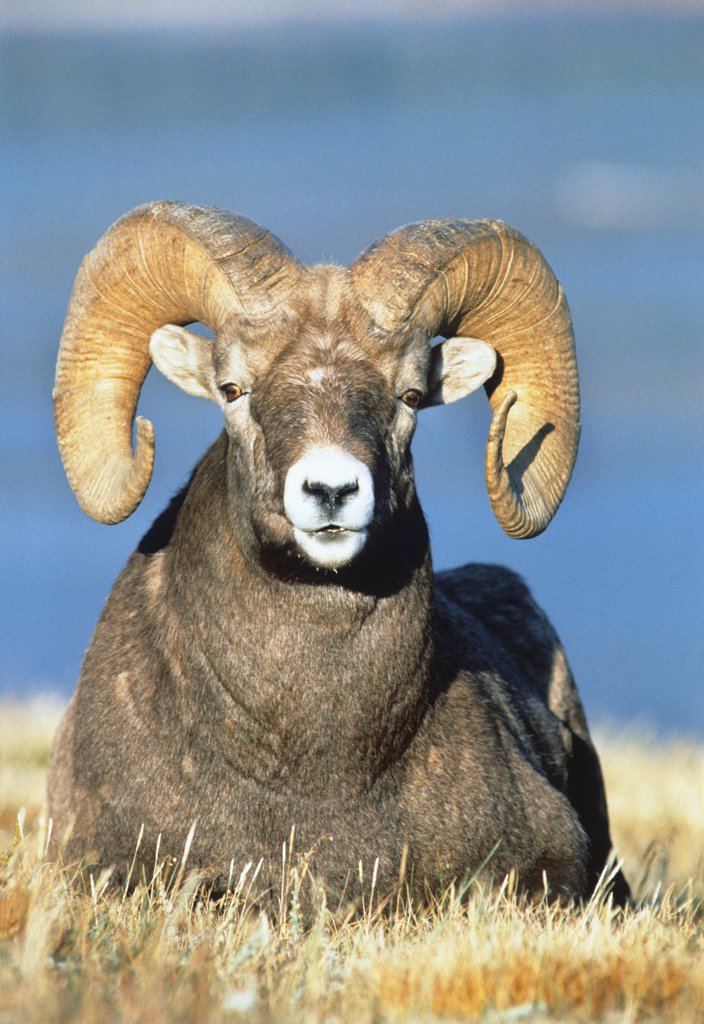 Stock Photo: 4186-12604 Big Horn Ram
