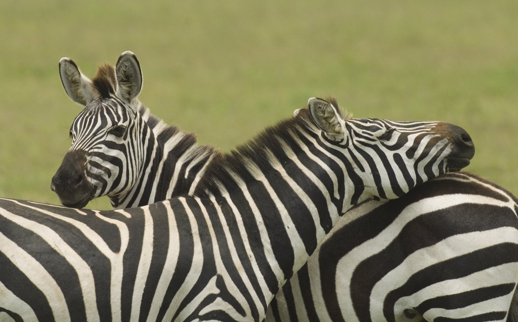 Burchells Zebras Standing With Their Heads On Each Others Back Serengeti National Park Tanzania Africa : Stock Photo