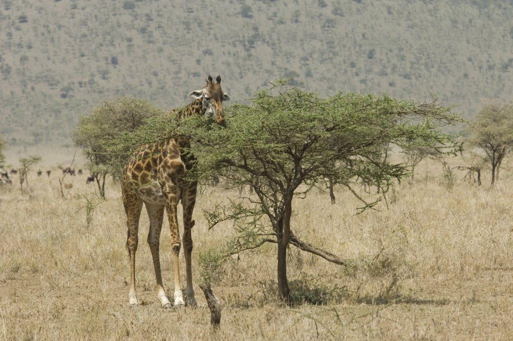 Stock Photo: 4186-12838 Giraffe Eating Top Leaves Of Small Acacia Tree Serengeti Tanzania Africa