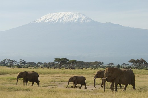 Elephants Walking In Front Of Mount Kilimanjaro Amboseli National Park Kenya Africa : Stock Photo