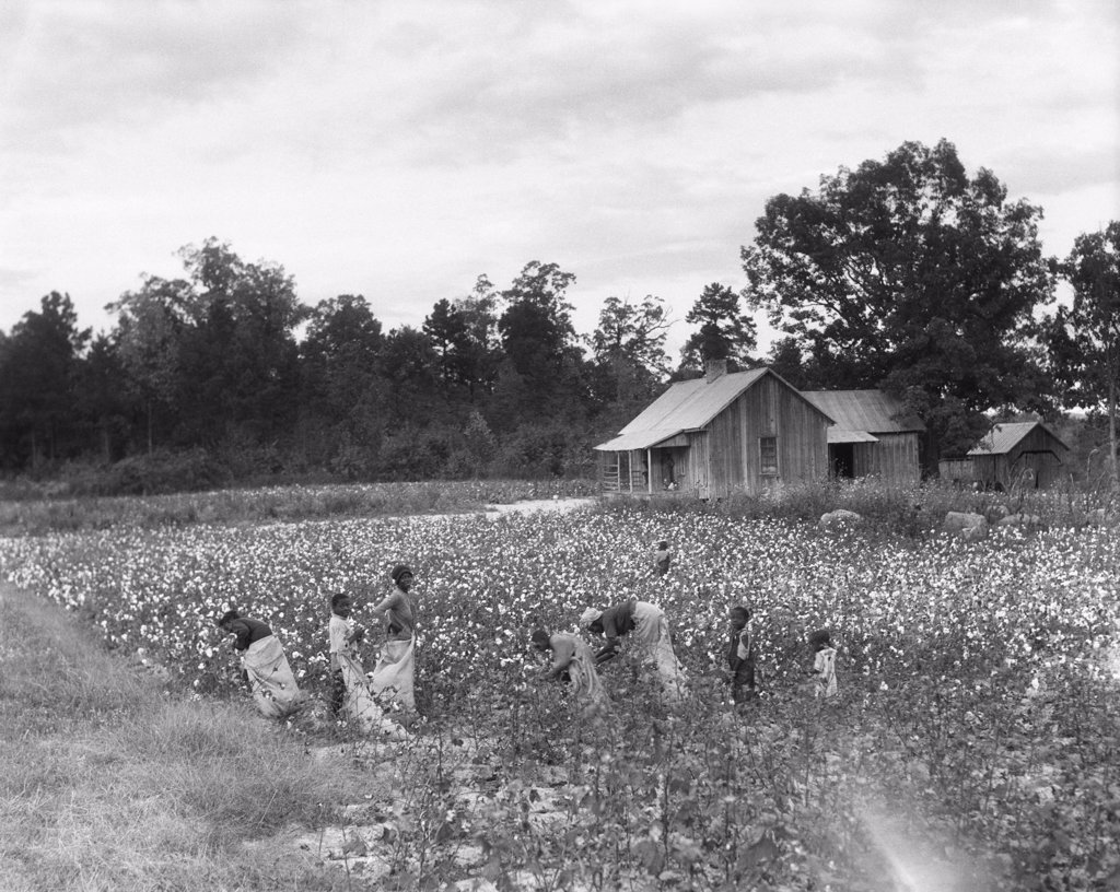 Stock Photo: 4186-14564 1930S African-American Family On Tenant Farm Picking Cotton In South Carolina