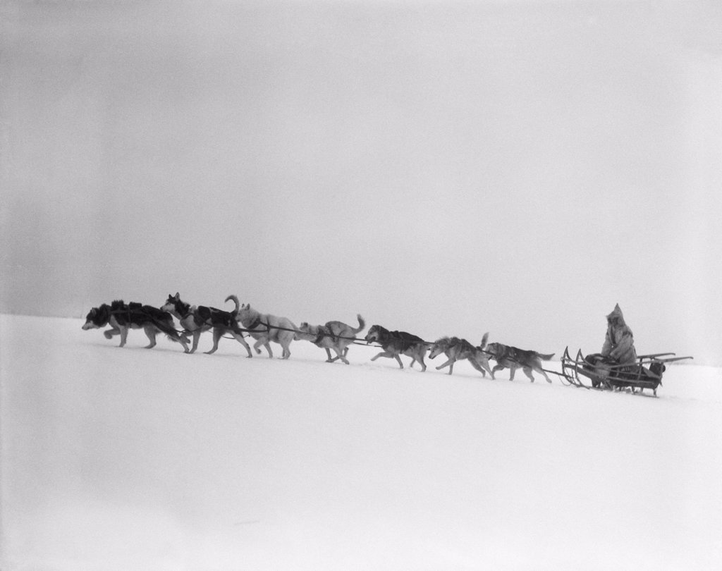 Stock Photo: 4186-16940 1920S 1930S Dog Leading Sled Dogs Using Harnesses To Pull Rider Musher Through Treacherous Winter Snow Conditions