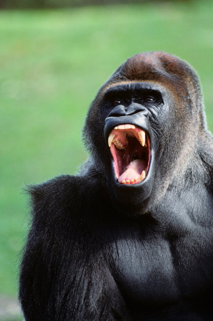 Stock Photo: 4186-17753 Gorilla Gorilla Gorilla Africa
