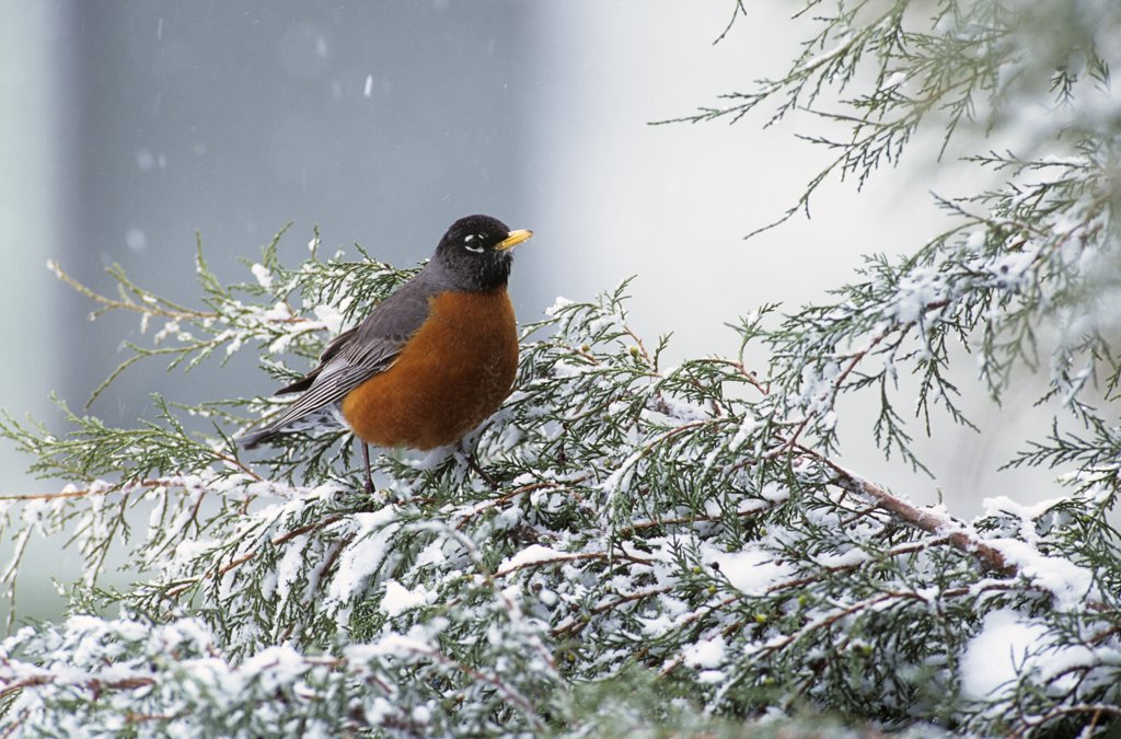 First Robin Of Spring On Snow Covered Juniper Branch Turdus Migratorius : Stock Photo