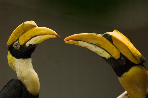 Stock Photo: 4186-5051 Two Great Hornbill Birds Beak To Beak Africa