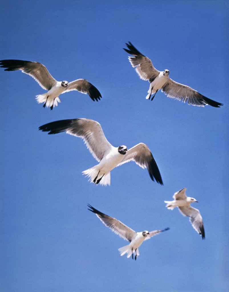 A Colony Screech Flock Or Squabble Of Seagulls Hovering In Sky : Stock Photo