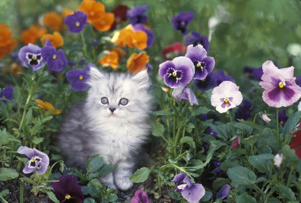 Stock Photo: 4186-5401 Shaded Silver Persian Kitten In Garden With Pansies