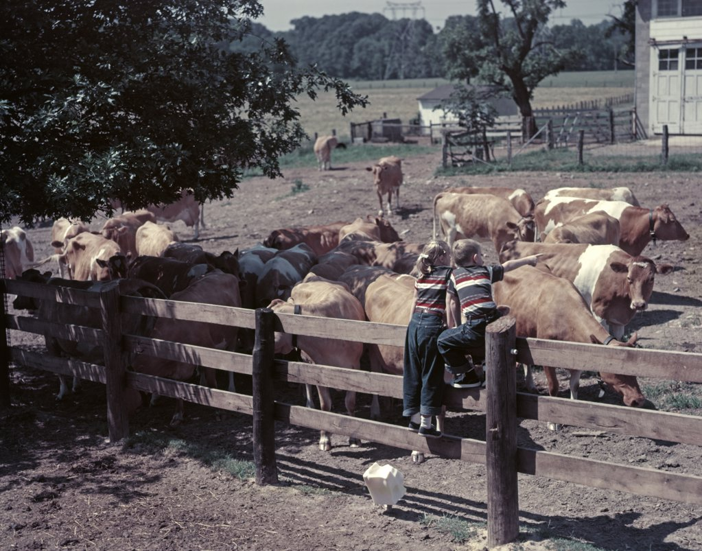 Stock Photo: 4186-6611 1950S Boy Girl Wearing Jeans Striped Tee Shirt Sit On Fence Dairy Farm Look At Guernsey Cows