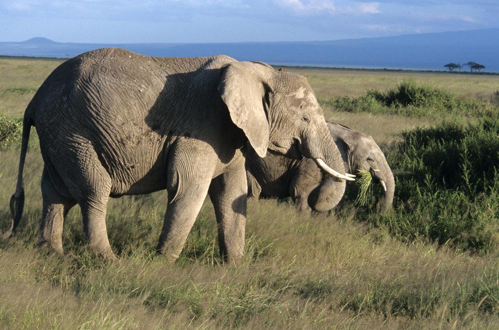 Amboseli National Park Kenya Africa Elephants Grazing : Stock Photo