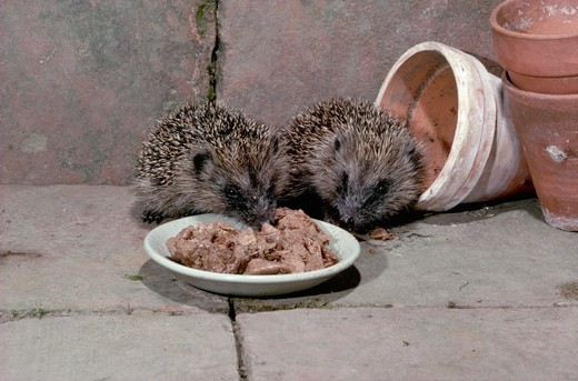 European Hedgehogs Eating from Plate : Stock Photo