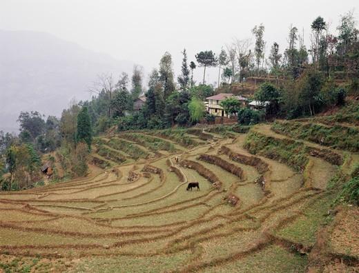 Terracing, Sikkim, India : Stock Photo