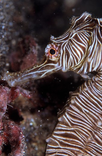 Marine Life, Sulawesi, Indonesia : Stock Photo