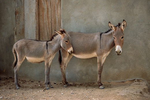 Stock Photo: 4192-8033 Donkeys, Mali