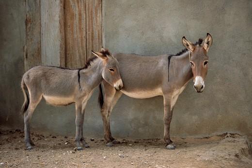 Donkeys, Mali : Stock Photo