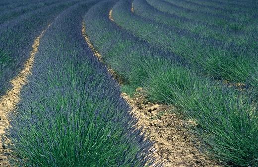 Stock Photo: 4192-9683 Lavender Fields, Provence, France
