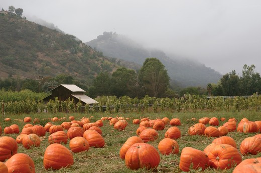 Stock Photo: 4193R-1357 Landscape orientation of a pumpkin patch in October