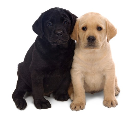 Two Labrador Retriever puppys leaning on one another on a white background. : Stock Photo