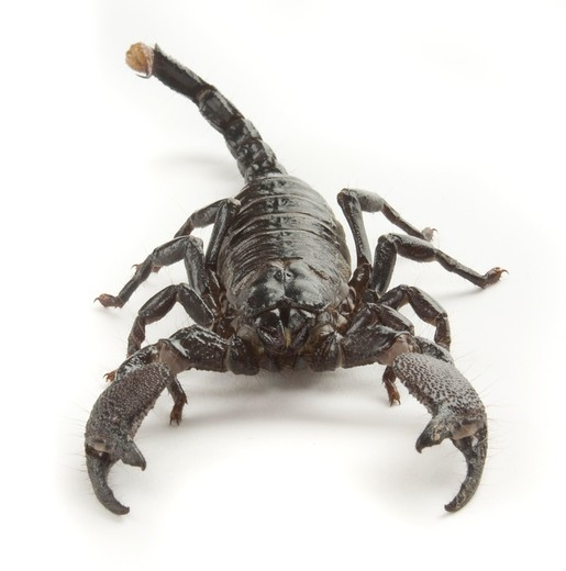 Stock Photo: 4193R-1479 Front view of a black scorpion on a white background