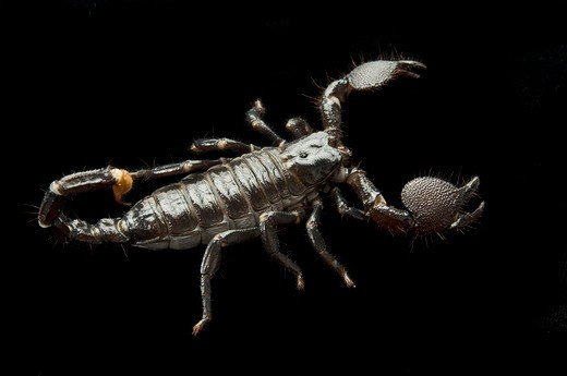 Stock Photo: 4193R-1480 Black scorpion on a black background