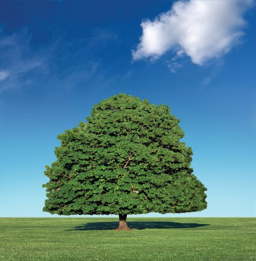 Stock Photo: 4193R-1718 perfect tree against blue sky with white cloud