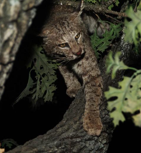 Stock Photo: 4193R-261 bobcat in a tree at night