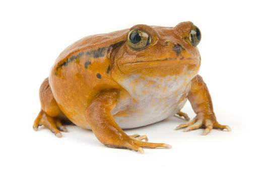 Orange tropical frog on a white background : Stock Photo
