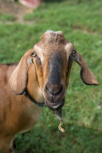 Stock Photo: 4194-113 Portrait of goat
