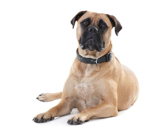 Stock Photo: 4197R-49759 Healthy bull mastiff with wrinkled brows lying isolated on white - portrait