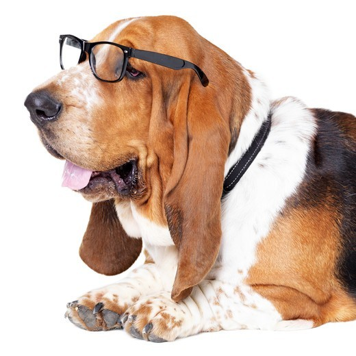 Basset hound looking away while wearing glasses and lying isolated on white : Stock Photo