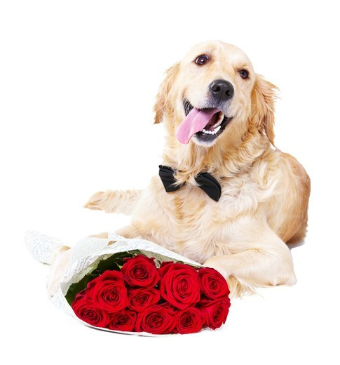A Golden Retriever wearing a bowtie lying with a bunch of red roses : Stock Photo